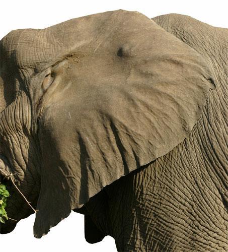elephant-ears1.jpg
