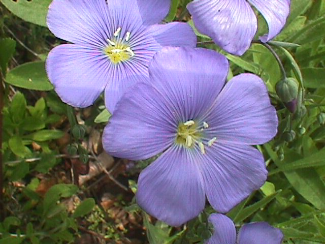 flax flower - Common Garden Flowers