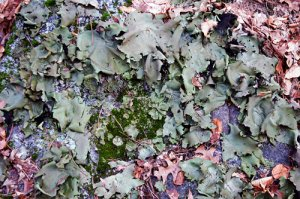Lichen 3 Lettuce Lichen