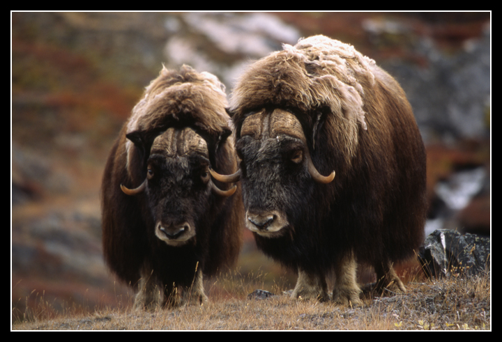 �the arctic ox or goat� marianne moore poetry